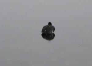 duck-on-ice.jpg
